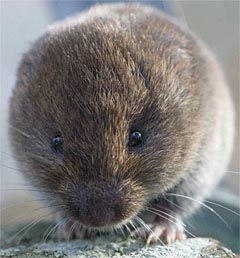 repel voles