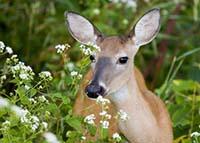 tips to repel deer