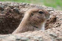 tips to repel groundhogs