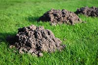 keep moles out of your yard