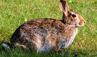 tips to repel rabbits