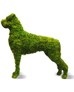 "Boxer 31"" Topiary Mossed"