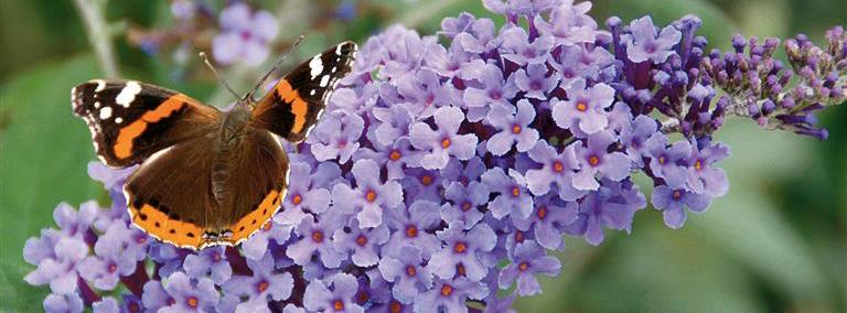 Butterflies and Buddleias