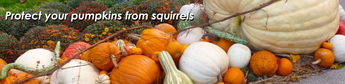 Protect pumpkins from squirrels