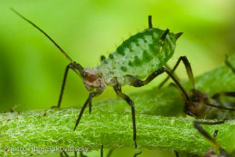 """Aphids in the salad?  """"They're a garnish!"""""""