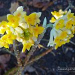 Edgeworthia Chrysantha, AKA Paper Bush or Yellow Daphne