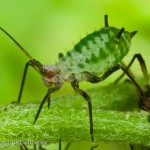 "Aphids in the salad?  ""They're a garnish!"""