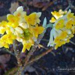 Edgeworthia Chrysantha, AKA Paper Bush or Yellow Daphne
